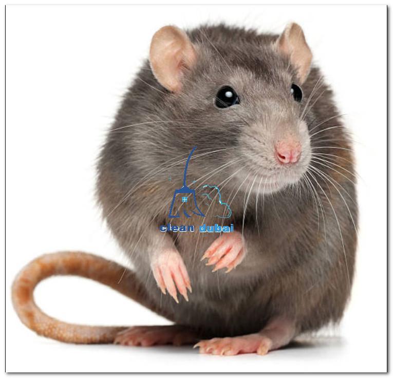 أرخص شركة مكافحة الفئران في دبي